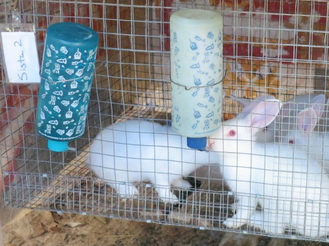 Curious rabbits take notice of the visitors to the Hulen homestead.